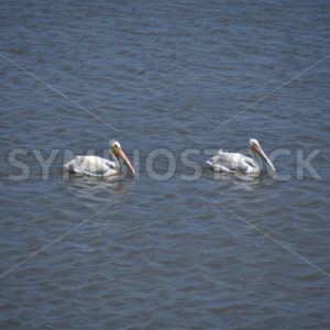 Bay Pelican Pair 1.JPG - Cliff Roepke