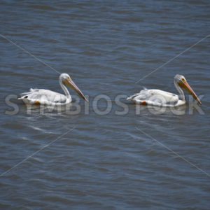 Bay Pelican Pair 2.JPG - Cliff Roepke