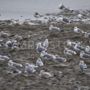 Shore Bird Flock.JPG - Cliff Roepke