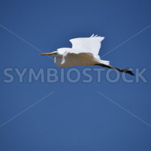 White Egret In Flight.JPG - Cliff Roepke